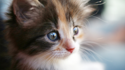 Close Up Tricolor Kitten