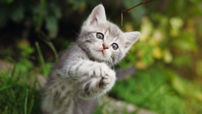 Grey Kitten Playing Outside