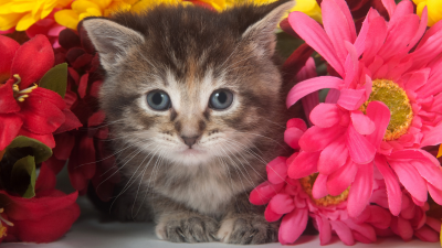 Grey Kitten and Pink Flowers
