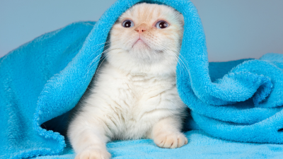 Surprised White Cat Under Blanket