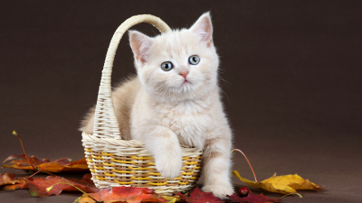 White Kitten in Basket