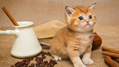 Cute Cinnamon Kitten