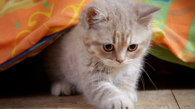 Playful Kitten Under Blanket