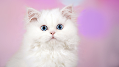Surprised White Kitten