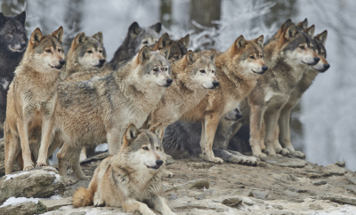 Wolf pack council